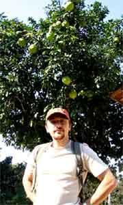 на дереве растут большие грейпфруты